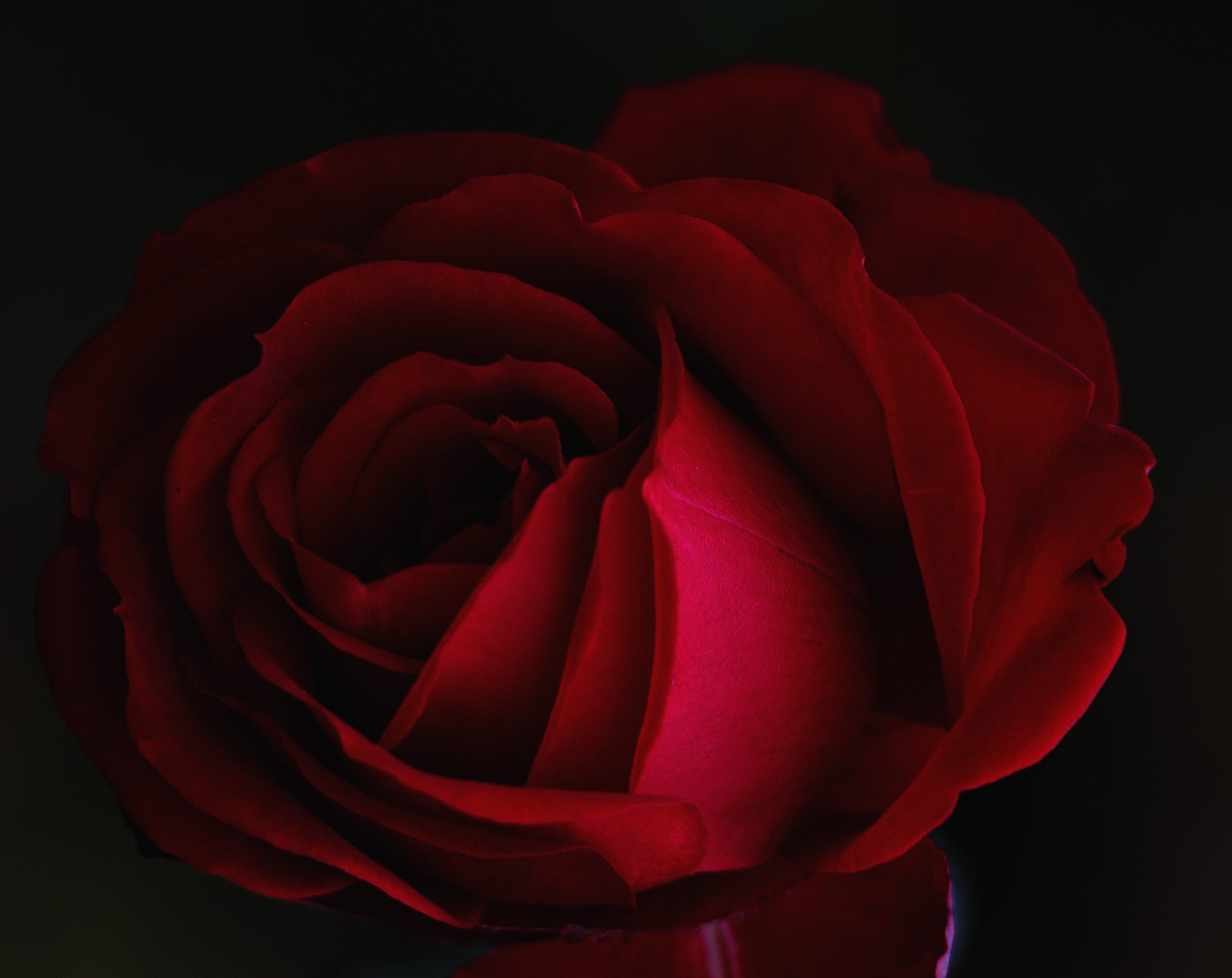 Canva - Red rose close up